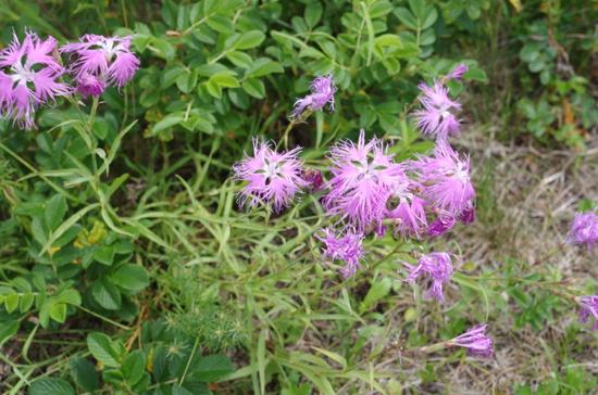 サロマ湖 ワッカ原生花園 6 カワラナデシコ