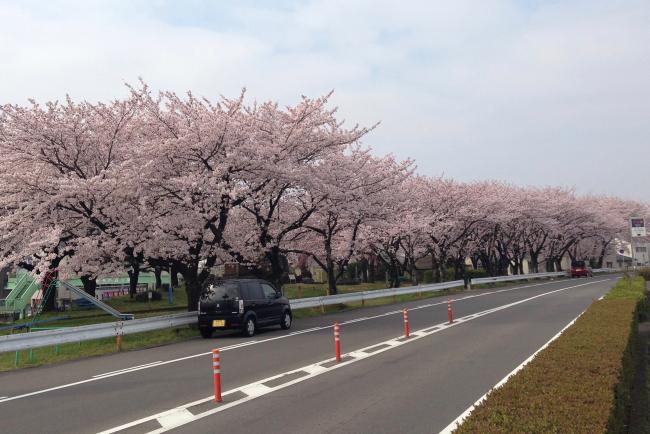 四ツ屋公園 桜並木