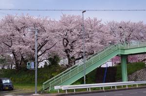 長良川河畔 四ッ屋公園 1