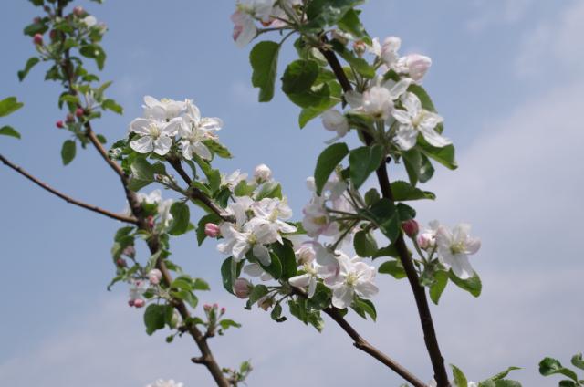 2016 林檎の花