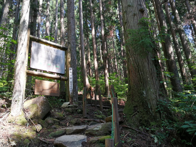 21世紀の森公園 株杉 1