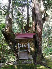 21世紀の森公園 株杉 2