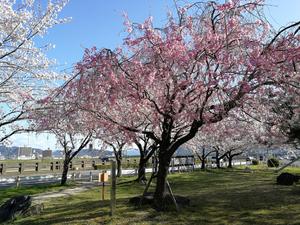 Apr. 9 四ツ屋公園 5