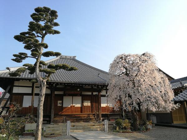 木造町 桜 2
