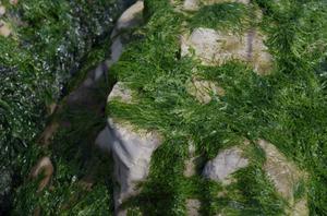 野間灯台 海藻